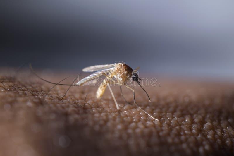 Τροπικό κουνούπι στοκ φωτογραφία
