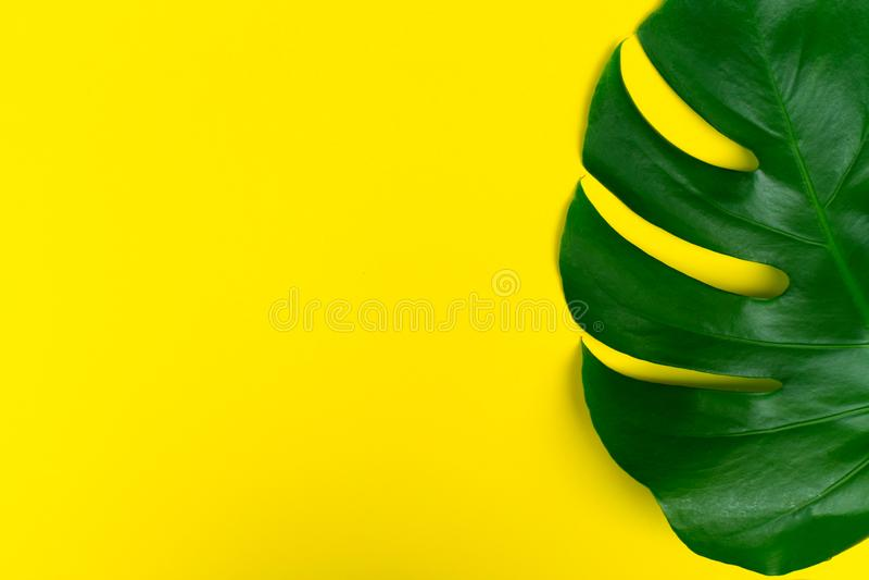 Τροπικό λουλούδι Monstera φύλλων σε ένα κίτρινο υπόβαθρο Δημιουργική ρύθμιση αυτών των τροπικών φύλλων σε ένα φωτεινό κίτρινο bac στοκ εικόνα