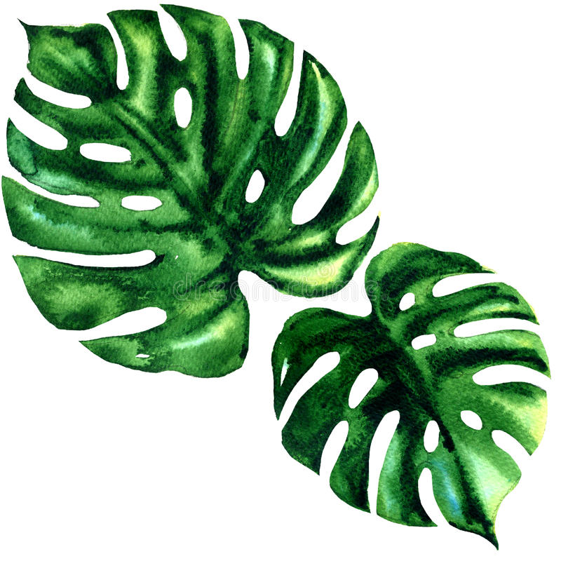 Τροπικό μεγάλο πράσινο φύλλο δύο του εξωτικού monstera που απομονώνεται, απεικόνιση watercolor στο λευκό διανυσματική απεικόνιση