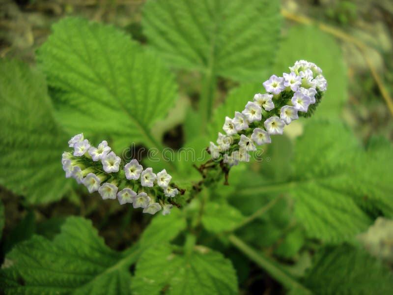 Τροπικό λουλούδι ουρών σκορπιών στοκ εικόνες