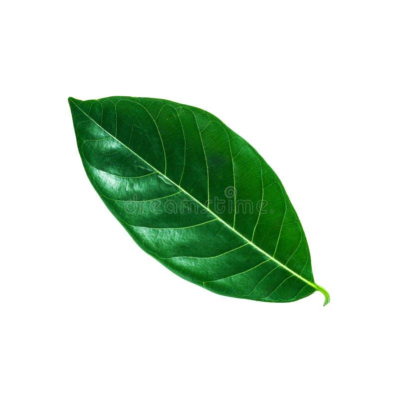 Τροπικό πράσινο φύλλο που απομονώνεται, πορεία ψαλιδίσματος στοκ εικόνα