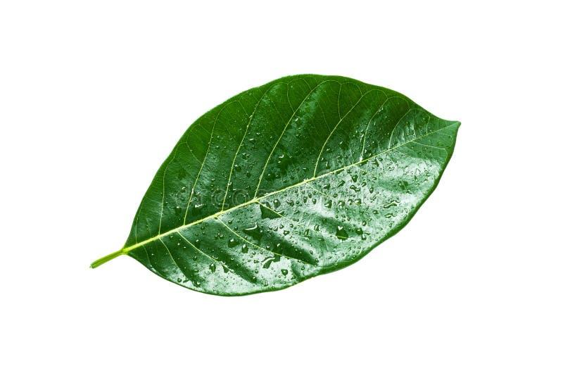 Τροπικό πράσινο φύλλο που απομονώνεται, πορεία ψαλιδίσματος στοκ φωτογραφία με δικαίωμα ελεύθερης χρήσης