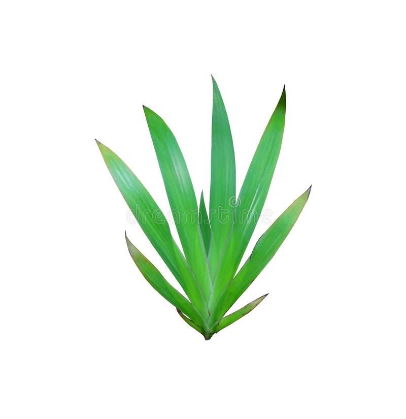 Τροπικό σχέδιο φύλλων κρίνων φύσης πράσινο στοκ εικόνα