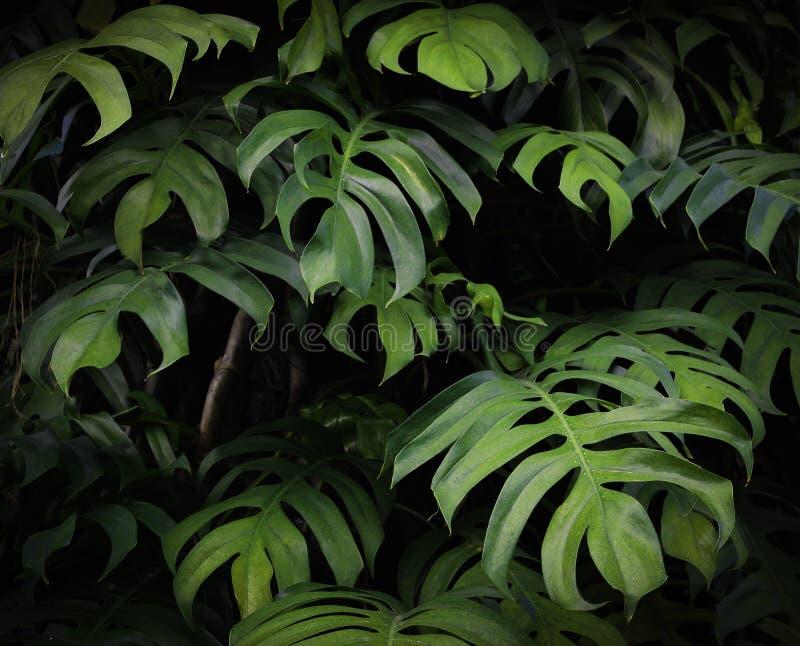 Τροπικό σχέδιο φύλλων φοινικών monstera φύσης πράσινο στοκ εικόνες με δικαίωμα ελεύθερης χρήσης