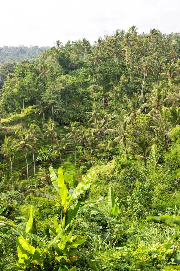 Τροπικό τοπίο ρυζιού φοινίκων πράσινο fileds στοκ εικόνα