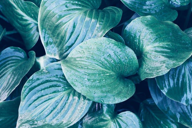 τροπικό φύλλο με σταγόνες νερού Τροπικό φυσικό φόντο φύλλων με σταγόνες δροσιάς στοκ εικόνα