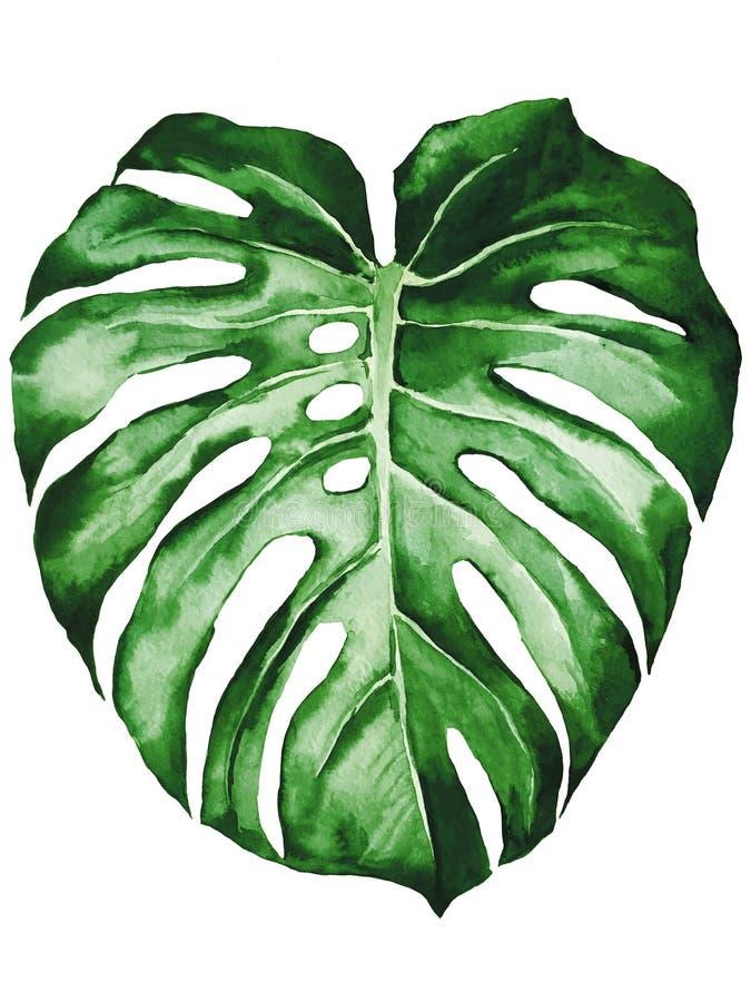 Τροπικό φύλλο του φυτού adansonii monstera που απομονώνεται στο άσπρο υπόβαθρο απεικόνιση αποθεμάτων