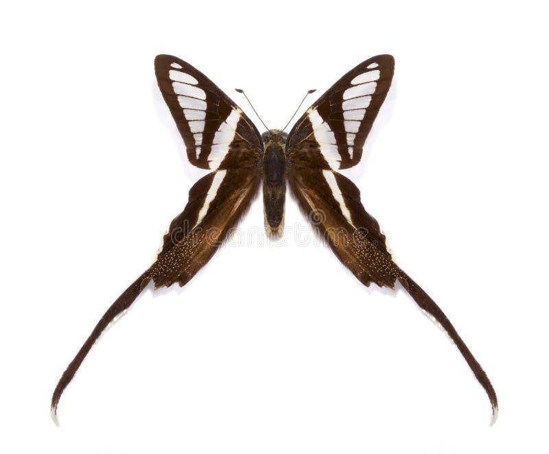 Τροπικό curius Lamproptera πεταλούδων στοκ φωτογραφία με δικαίωμα ελεύθερης χρήσης