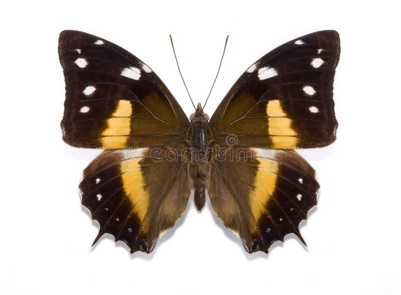 Τροπικό deucalion Baeotus πεταλούδων στοκ φωτογραφίες