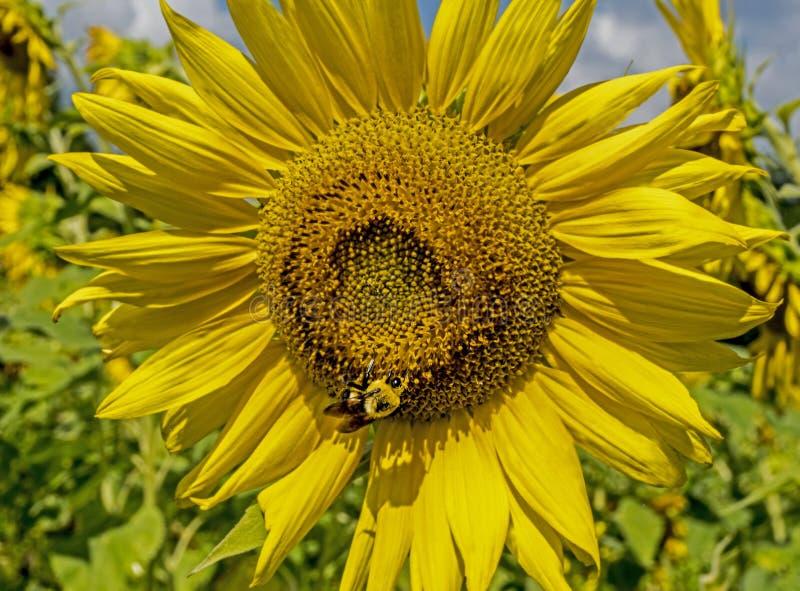 Τροφές μελισσών κινηματογραφήσεων σε πρώτο πλάνο με το μεγάλο κεφάλι ηλίανθων στοκ εικόνες