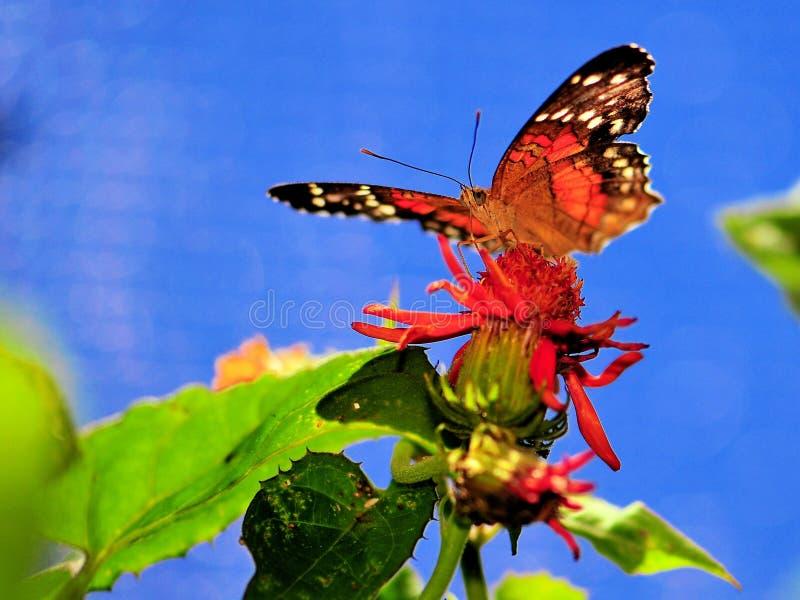 Τροφές πεταλούδων κόλλεϊ με το flowerf στο κλουβί στοκ εικόνες με δικαίωμα ελεύθερης χρήσης
