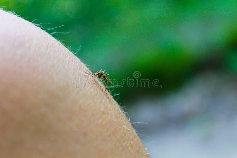 Τροφές Culex κουνουπιών pipiens με το αίμα του ανθρώπινου σώματος στοκ φωτογραφία με δικαίωμα ελεύθερης χρήσης