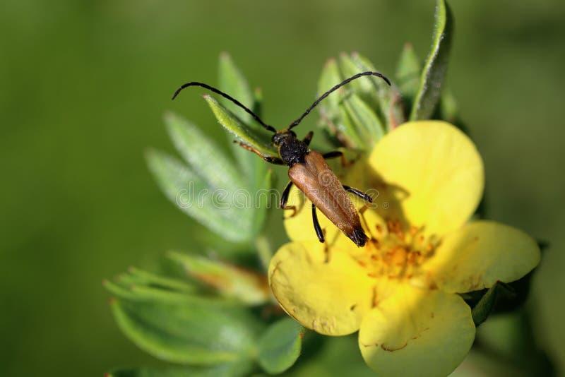 Τροφές longhorn κανθάρων με τη γύρη σε ένα κίτρινο λουλούδι στοκ εικόνες με δικαίωμα ελεύθερης χρήσης