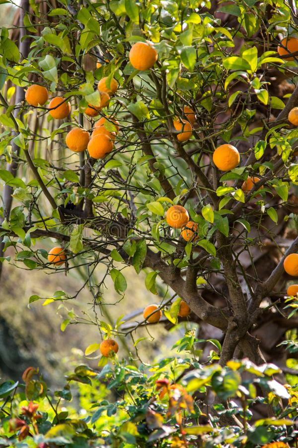 Τροφίμων βιταμινών κορμών πράσινο καλοκαίρι φύσης συγκομιδών εγκαταστάσεων δέντρων πορτοκαλί στοκ φωτογραφίες