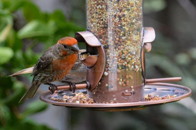 Τροφοδότης πουλιών κατωφλιών στοκ φωτογραφία