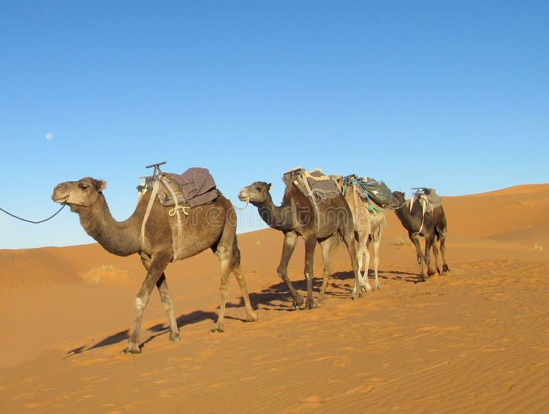 Τροχόσπιτο καμηλών στην έρημο στοκ φωτογραφία