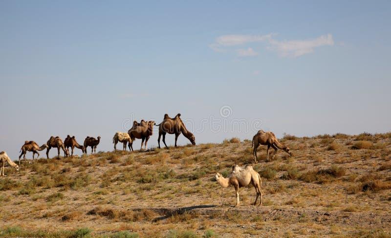 Τροχόσπιτο καμηλών στην έρημο στοκ φωτογραφίες με δικαίωμα ελεύθερης χρήσης