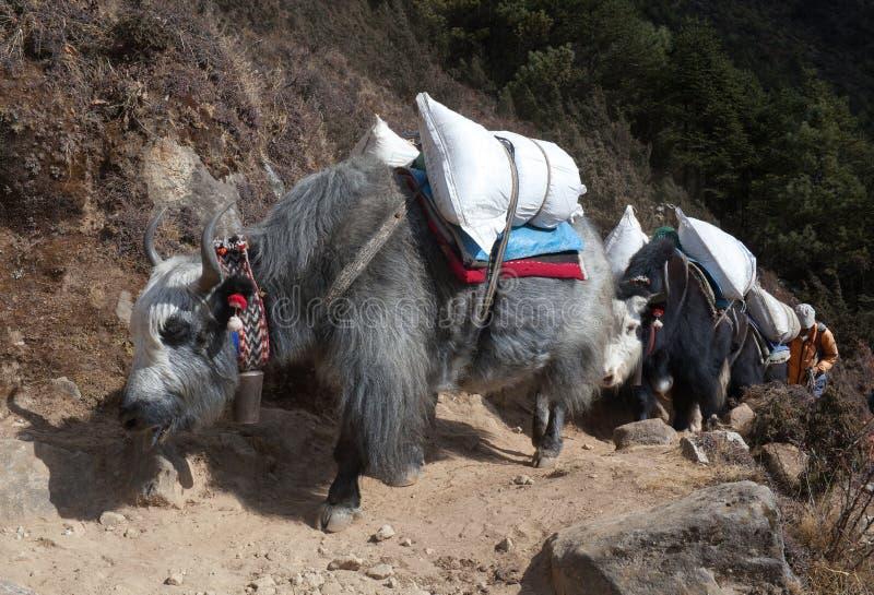 Τροχόσπιτο των yaks στο Νεπάλ Ιμαλάια στοκ φωτογραφία