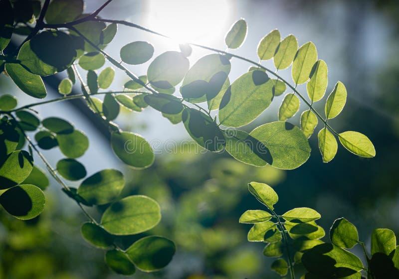 Τρυφερά πράσινα νέα φύλλα της μαύρης ακρίδας pseudoacacia Robinia, ψεύτικη ακακία μέσω της οποίας ο ήλιος λάμπει κατευθείαν στοκ εικόνα