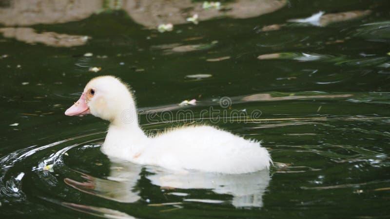 Τρυφερή και όμορφη εικόνα μιας άσπρης πάπιας, mollerussa, lleida στοκ φωτογραφίες