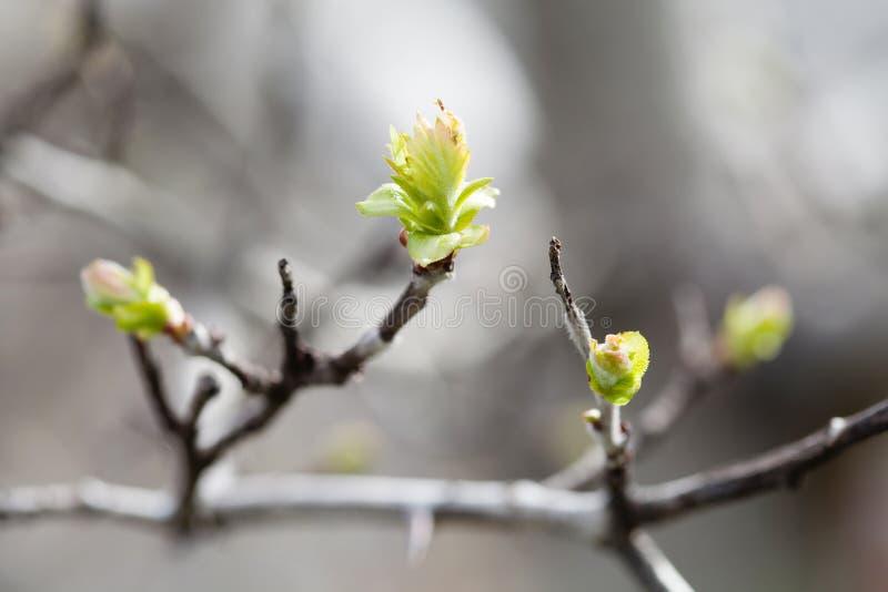 Τρυφερή φύση άνοιξης στο πάρκο Πρώτα πράσινα φύλλα, μακρο άποψη κλαδίσκων δέντρων, εκλεκτική εστίαση Όμορφη ανασκόπηση bokeh στοκ εικόνες