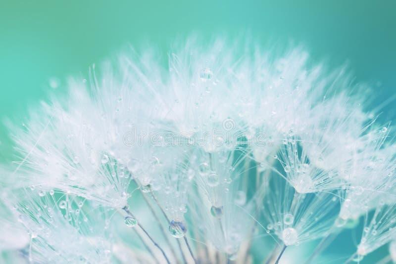 Τρυφερός άσπρος σπόρος πικραλίδων με τις πτώσεις νερού στοκ φωτογραφίες