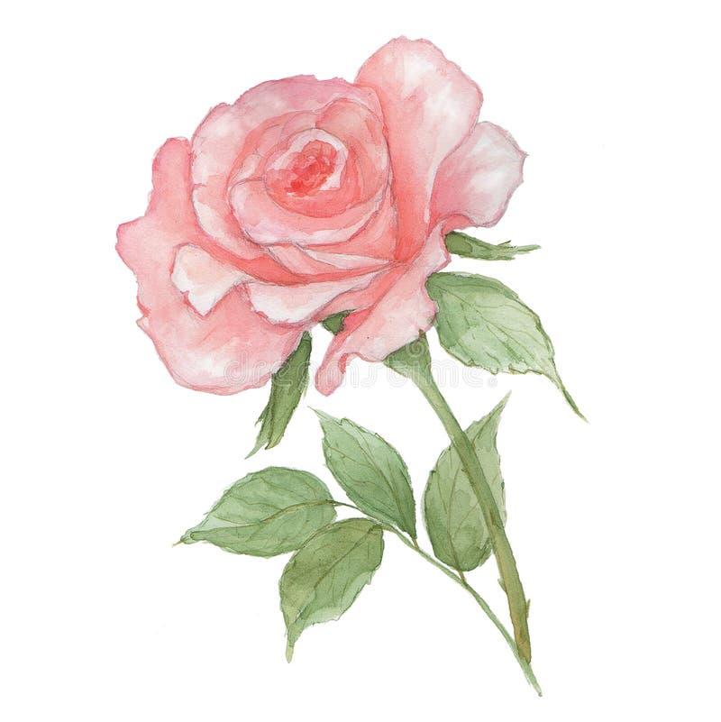 Τρυφερός ανοικτό ροζ Watercolor αυξήθηκε στο άσπρο υπόβαθρο Το φρέσκο άνθισμα αυξήθηκε ελεύθερη απεικόνιση δικαιώματος