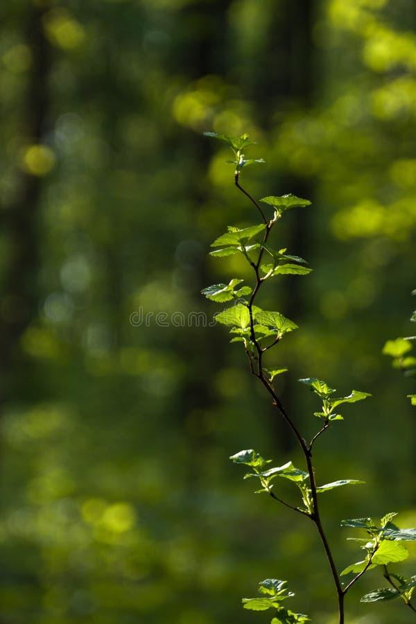 Τρυφερός πράσινος θάμνος κλαδίσκων στον ήλιο στοκ φωτογραφίες με δικαίωμα ελεύθερης χρήσης