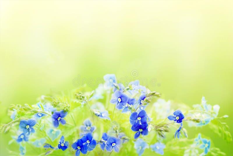 Τρυφερό floral υπόβαθρο άνοιξη με την μπλε Βερόνικα Germander, λουλούδια Speedwell Μια ανθοδέσμη του άγριου λιβαδιού ή του δάσους στοκ εικόνα