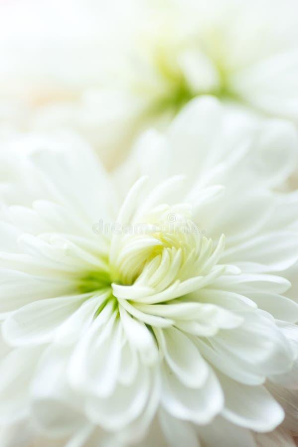 Τρυφερό floral υπόβαθρο Η άσπρη μαργαρίτα χρυσάνθεμων ανθίζει τις μακρο λεπτομέρειες Ρομαντική έννοια γαμήλιας δέσμευσης E στοκ φωτογραφία