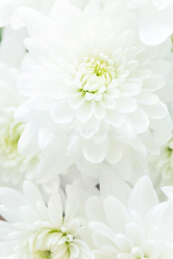 Τρυφερό floral υπόβαθρο Η άσπρη μαργαρίτα χρυσάνθεμων ανθίζει τις μακρο λεπτομέρειες των πετάλων Ρομαντική έννοια γαμήλιας δέσμευ στοκ φωτογραφίες