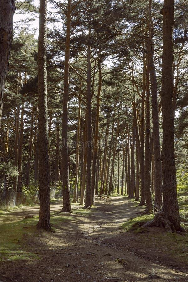 Τρόπος μέσω του δάσους πεύκων στοκ εικόνα με δικαίωμα ελεύθερης χρήσης