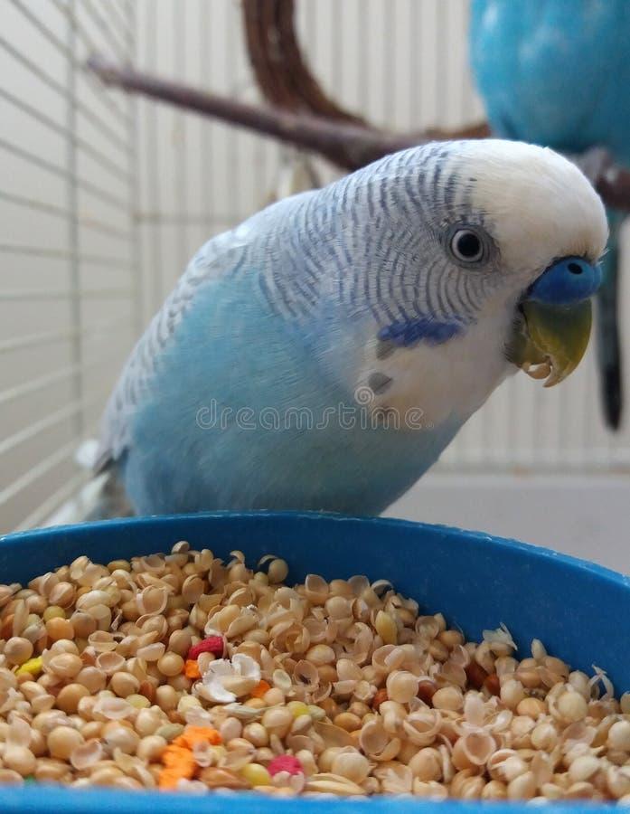 Τρόφιμα για τα budgies και τα πουλιά στοκ φωτογραφία