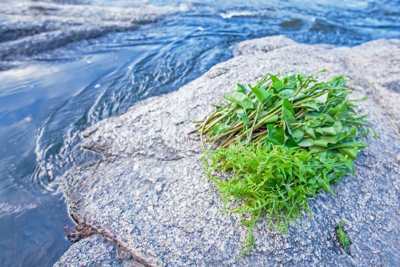 Τρόφιμα στη φύση, τη φρέσκα άγρια φτέρη και το σπανάκι νερού στο βράχο κατά μήκος ενός ρεύματος r Πολιτισμός τροφίμων στοκ εικόνες