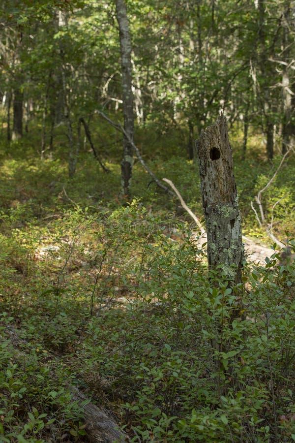 Τρύπα δέντρων δρυοκολαπτών στο δάσος στοκ εικόνες