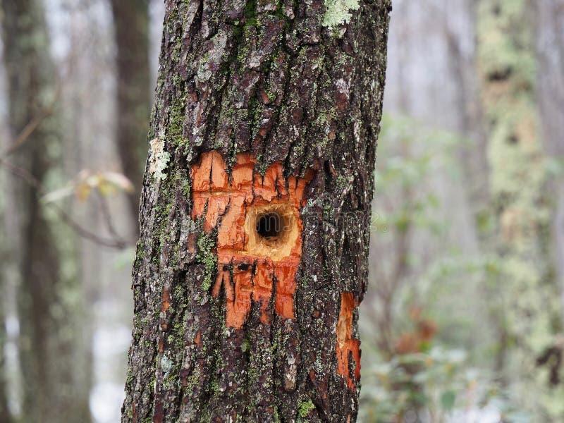 Τρύπα δρυοκολαπτών στον κορμό δέντρων στοκ φωτογραφίες