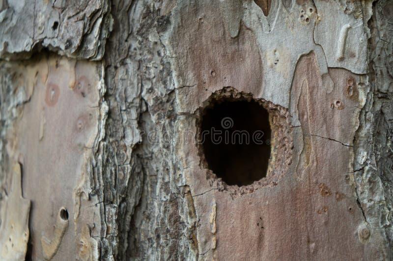 Τρύπα δρυοκολαπτών σε ένα δέντρο στοκ εικόνα