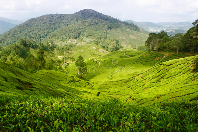 τσάι αγροτικών φυτειών στοκ εικόνες