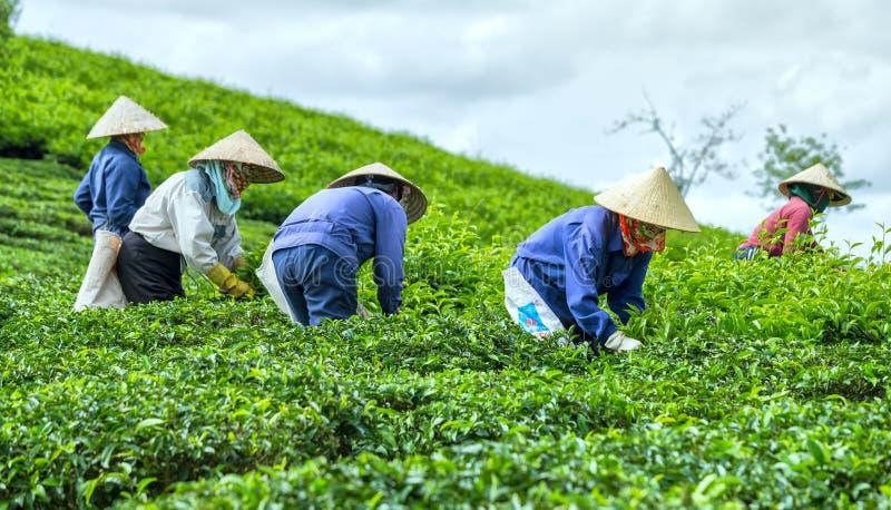 Τσάι επιλογής GrFarmers στη φυτεία τσαγιού στοκ εικόνα