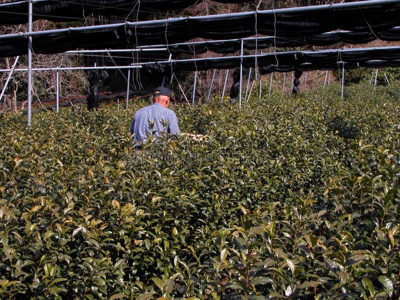Download τσάι λίπανσης καλλιέργει& στοκ εικόνα. εικόνα από βιομηχανία - 114307