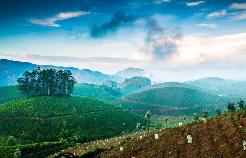 τσάι φυτειών της Ινδίας στοκ εικόνες