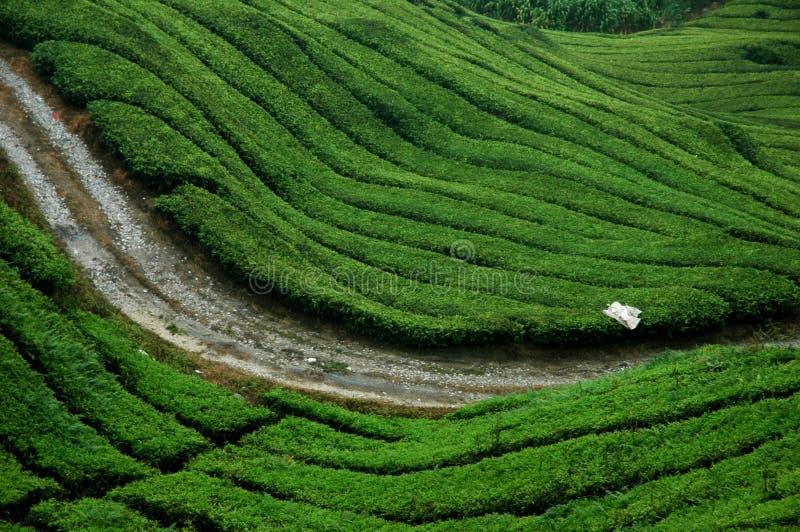 τσάι φυτειών στοκ εικόνα με δικαίωμα ελεύθερης χρήσης