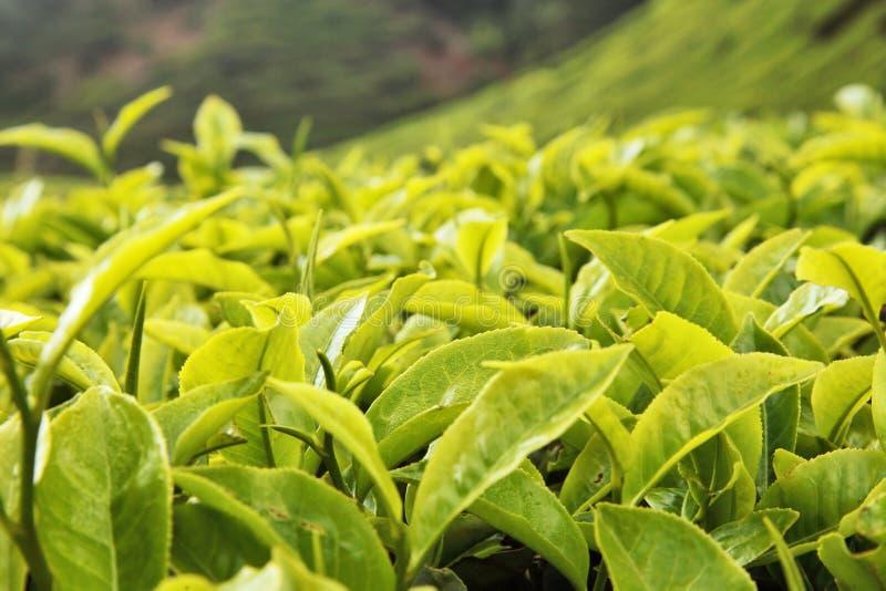 τσάι φύλλων οφθαλμών στοκ φωτογραφία