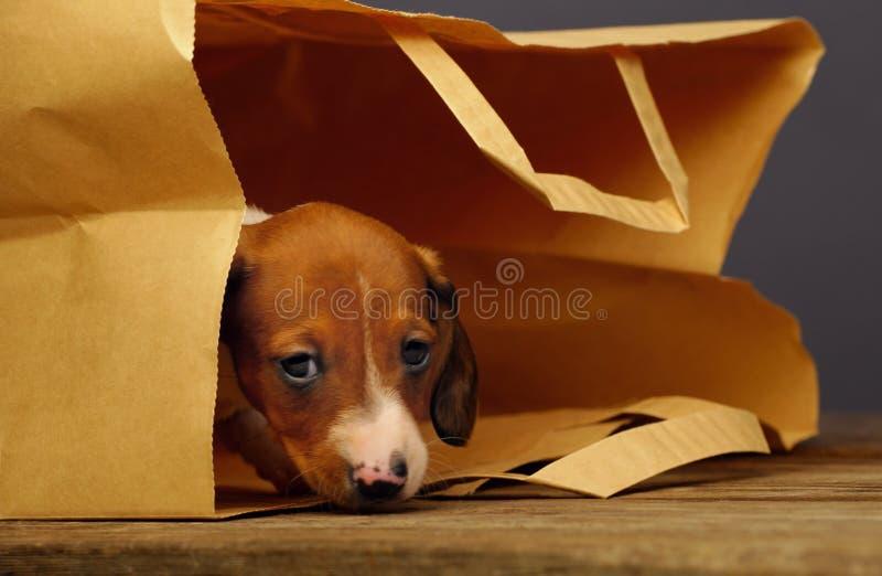 Τσάντα εγγράφου κουταβιών Dachshund στοκ εικόνα