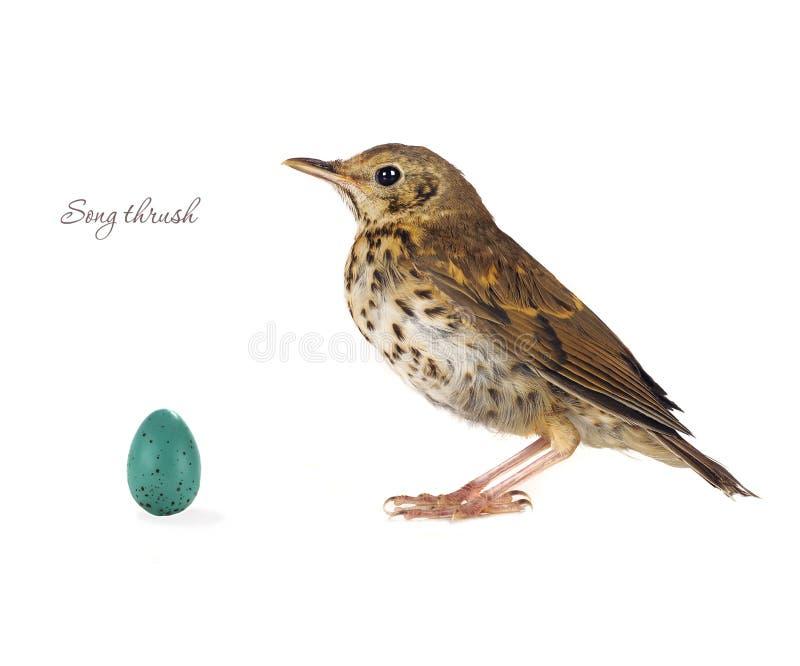 Τσίχλα αυγών στοκ εικόνες