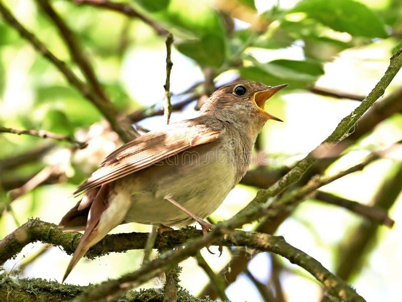 Τσίχλα Nightingale (luscinia Luscinia) στοκ εικόνα με δικαίωμα ελεύθερης χρήσης