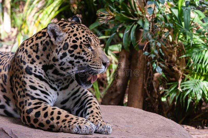 ΤΣΕΣΤΕΡ, ΤΣΕΣΑΪΡ, ΑΓΓΛΙΑ, ΗΝΩΜΕΝΟ ΒΑΣΊΛΕΙΟ - 1 ΙΟΥΛΊΟΥ 2017: Onca Panthera ιαγουάρων που στηρίζεται σε έναν βράχο στοκ εικόνα με δικαίωμα ελεύθερης χρήσης