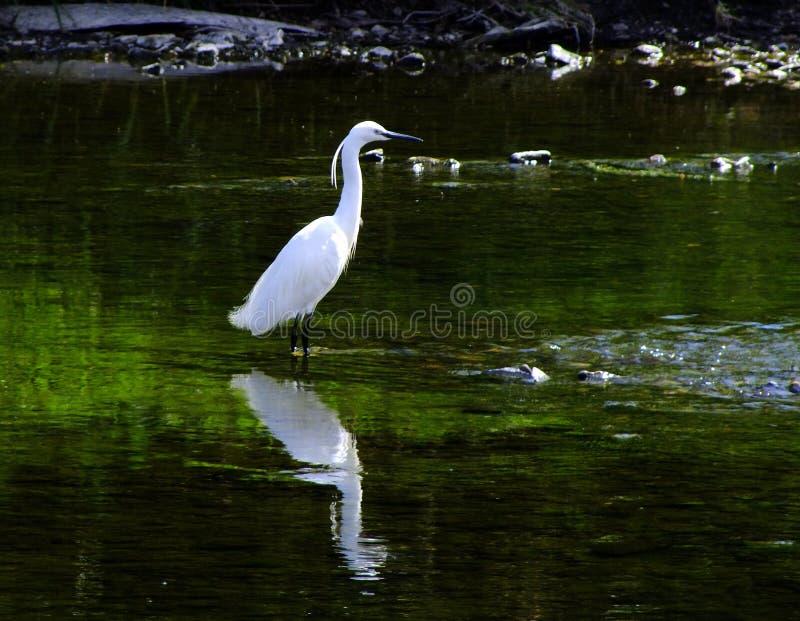 Τσικνιάς, όμορφο άσπρο πουλί, στο ρηχό ποταμό στοκ εικόνα με δικαίωμα ελεύθερης χρήσης
