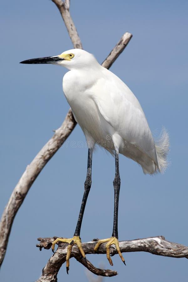 τσικνιάς everglades Φλώριδα πουλιών χιονώδης στοκ εικόνες