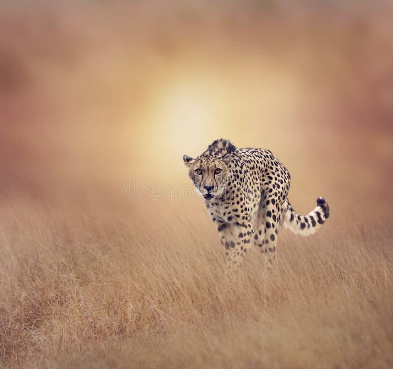 Τσιτάχ που περπατά στο λιβάδι στοκ φωτογραφίες